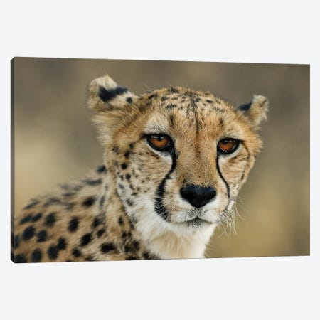 Cheetah Stare Canvas Print #JMZ4} by Jimmyz Canvas Wall Art