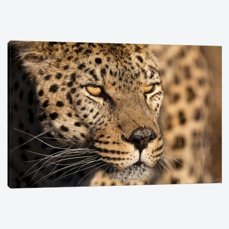 Cheetah Stare Canvas Print #JMZ5} by Jimmyz Canvas Artwork