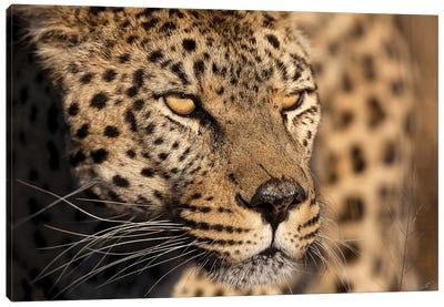 Cheetah Stare Canvas Art Print