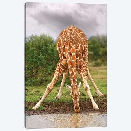 Drinking Giraffe Canvas Print #JMZ7} by Jimmyz Canvas Wall Art