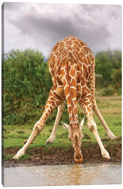 Drinking Giraffe Canvas Art Print