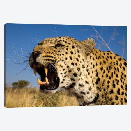 Fierce Leopard Canvas Print #JMZ9} by Jimmyz Canvas Art Print