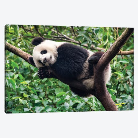 Sleeping Giant Panda Canvas Print #JNB103} by Jan Becke Canvas Wall Art