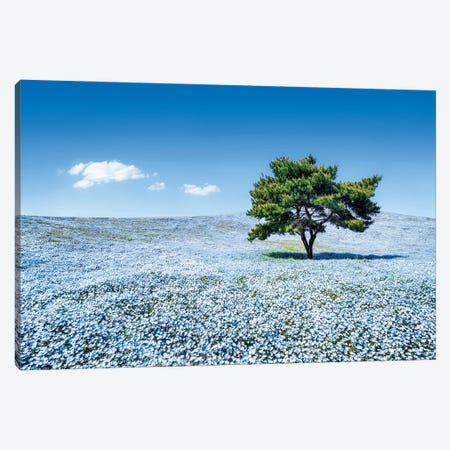 Baby Blue Eyes Nemophila Flowers In Full Bloom, Hitatchi Seaside Park, Japan Canvas Print #JNB1503} by Jan Becke Canvas Print