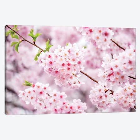 Cherry Blossom Tree Close Up Canvas Print #JNB1540} by Jan Becke Canvas Art Print