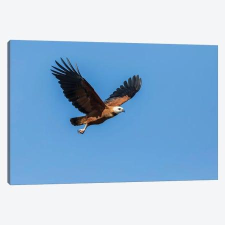Pantanal, Mato Grosso, Brazil. Black-Collared Hawk in flight. Canvas Print #JNH10} by Janet Horton Canvas Art