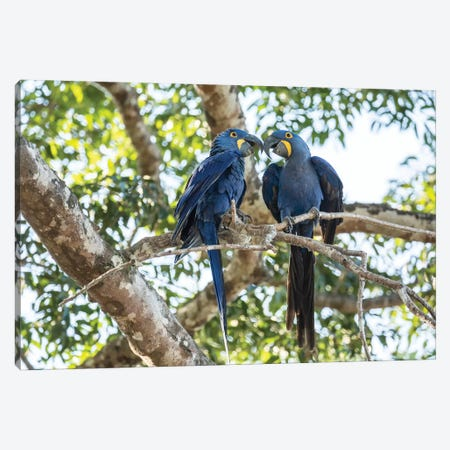 Pantanal, Mato Grosso, Brazil. Mated pair of hyacinth macaws showing affection  Canvas Print #JNH19} by Janet Horton Canvas Art