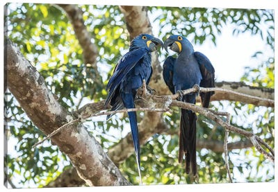 Pantanal, Mato Grosso, Brazil. Mated pair of hyacinth macaws showing affection  Canvas Art Print