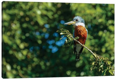 Pantanal, Mato Grosso, Brazil. Ringed Kingfisher sitting in a tree. Canvas Art Print