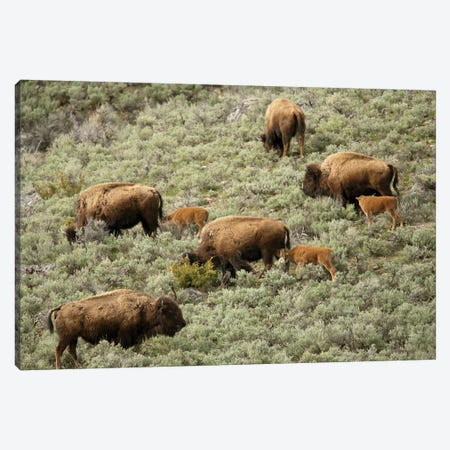 Yellowstone National Park, Wyoming Female bison and calves walking down a hill to get to water. Canvas Print #JNH22} by Janet Horton Canvas Print