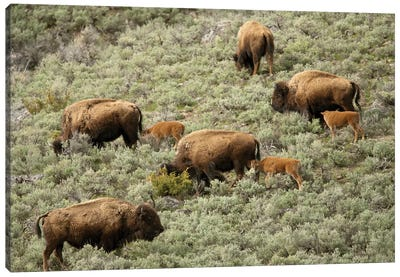 Yellowstone National Park, Wyoming Female bison and calves walking down a hill to get to water. Canvas Art Print