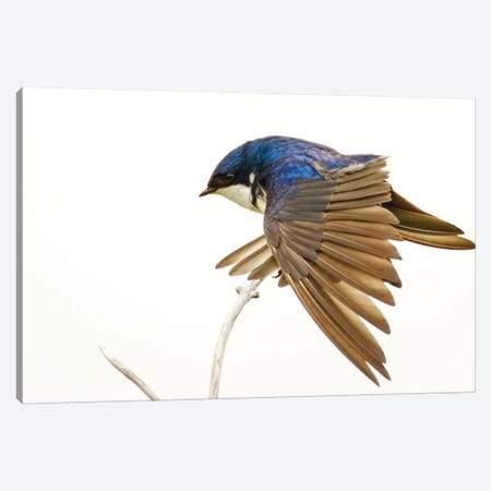 George Reifel Migratory Bird Sanctuary, Bc, Canada. Tree Swallow Stretching Wings. Canvas Print #JNH26} by Janet Horton Canvas Art