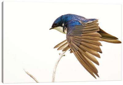 George Reifel Migratory Bird Sanctuary, Bc, Canada. Tree Swallow Stretching Wings. Canvas Art Print