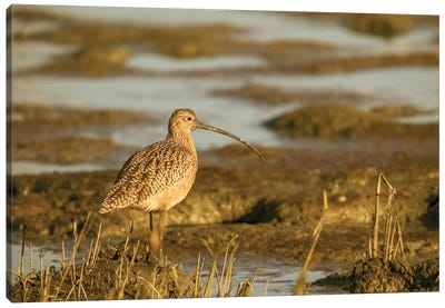 Palo Alto Baylands Nature Preserve, California, Usa. Long-Billed Curlew Walking In A Tidal Mudflat. Canvas Art Print