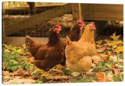 Issaquah, WA. Free-ranging Buff Orpington and Rhode Island Red chickens  Canvas Art Print