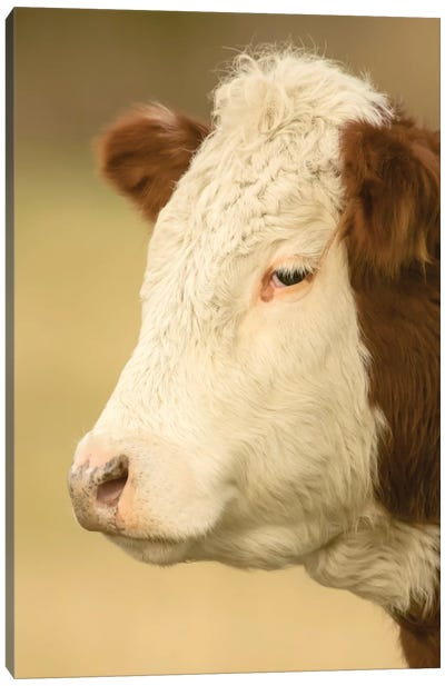 La Conner, WA. Close-up portrait of a Hereford cow in pasture. Canvas Art Print