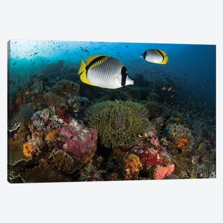 Lined Butterflyfish Over Coral, Komodo National Park, Indonesia  Canvas Print #JNS2} by Jones & Shimlock Art Print
