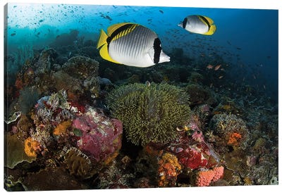 Lined Butterflyfish Over Coral, Komodo National Park, Indonesia  Canvas Art Print