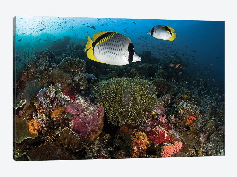 Lined Butterflyfish Over Coral, Komodo National Park, Indonesia  by Jones & Shimlock 1-piece Canvas Art