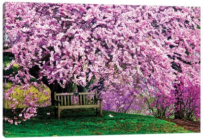 Tribute Bench Under A Cherry Blossom, Winterthur Museum, Garden And Library, Winterthur, Delaware, USA Canvas Art Print