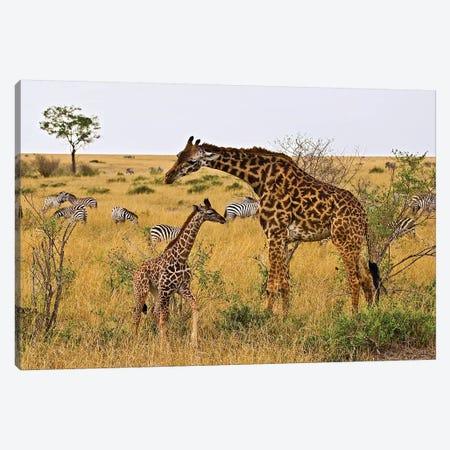 Maasai Giraffes Roaming Across The Maasai Mara Kenya. Canvas Print #JOE14} by Joe Restuccia III Art Print