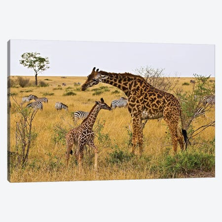 Maasai Giraffes Roaming Across The Maasai Mara Kenya. Canvas Print #JOE14} by Joe Restuccia III Art Print