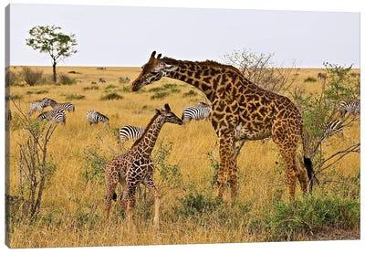 Maasai Giraffes Roaming Across The Maasai Mara Kenya. Canvas Art Print