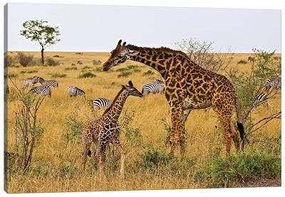 Maasai Giraffes Roaming Across The Maasai Mara Kenya. Canvas Art Print