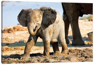 Baby African Elephant In Mud, Halali Resort, Etosha Pan, Namibia, Africa: Canvas Art Print