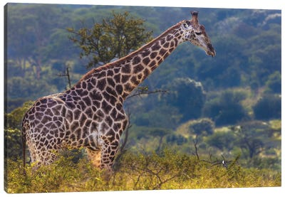 The Giraffe Canvas Art Print