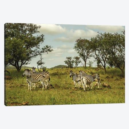 Zebra Family 3-Piece Canvas #JOR120} by Anders Jorulf Art Print