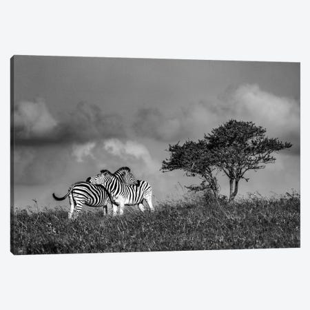 Zebras Canvas Print #JOR121} by Anders Jorulf Canvas Art Print