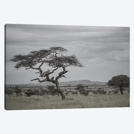 Lion In The Evening Canvas Print #JOR147} by Anders Jorulf Canvas Artwork