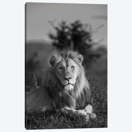 Lionking Canvas Print #JOR150} by Anders Jorulf Canvas Wall Art