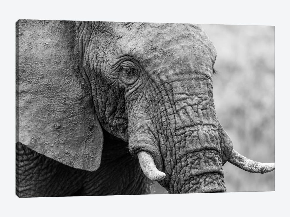 Sleeping Elephant by Anders Jorulf 1-piece Canvas Art Print