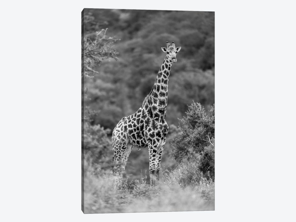 Stately Giraffe by Anders Jorulf 1-piece Canvas Art