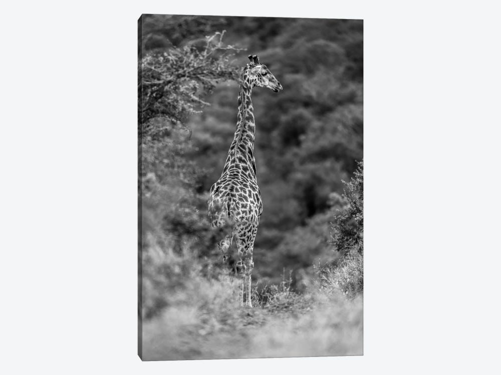 The Young Giraffe by Anders Jorulf 1-piece Canvas Art Print