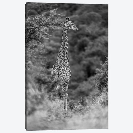 The Young Giraffe Canvas Print #JOR61} by Anders Jorulf Canvas Artwork