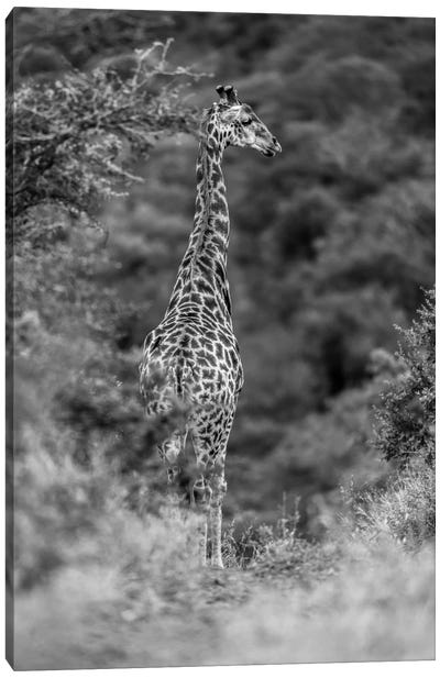The Young Giraffe Canvas Art Print