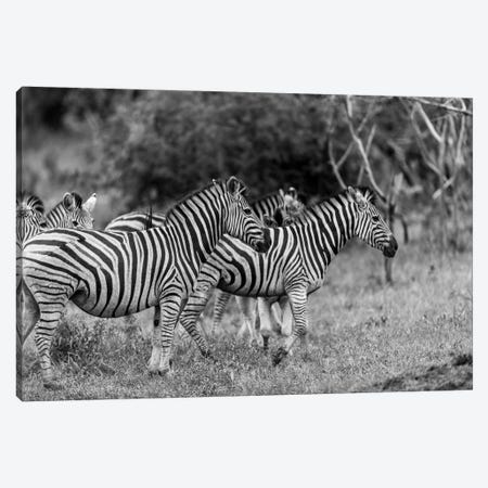 The Zebra Family Canvas Print #JOR62} by Anders Jorulf Canvas Artwork
