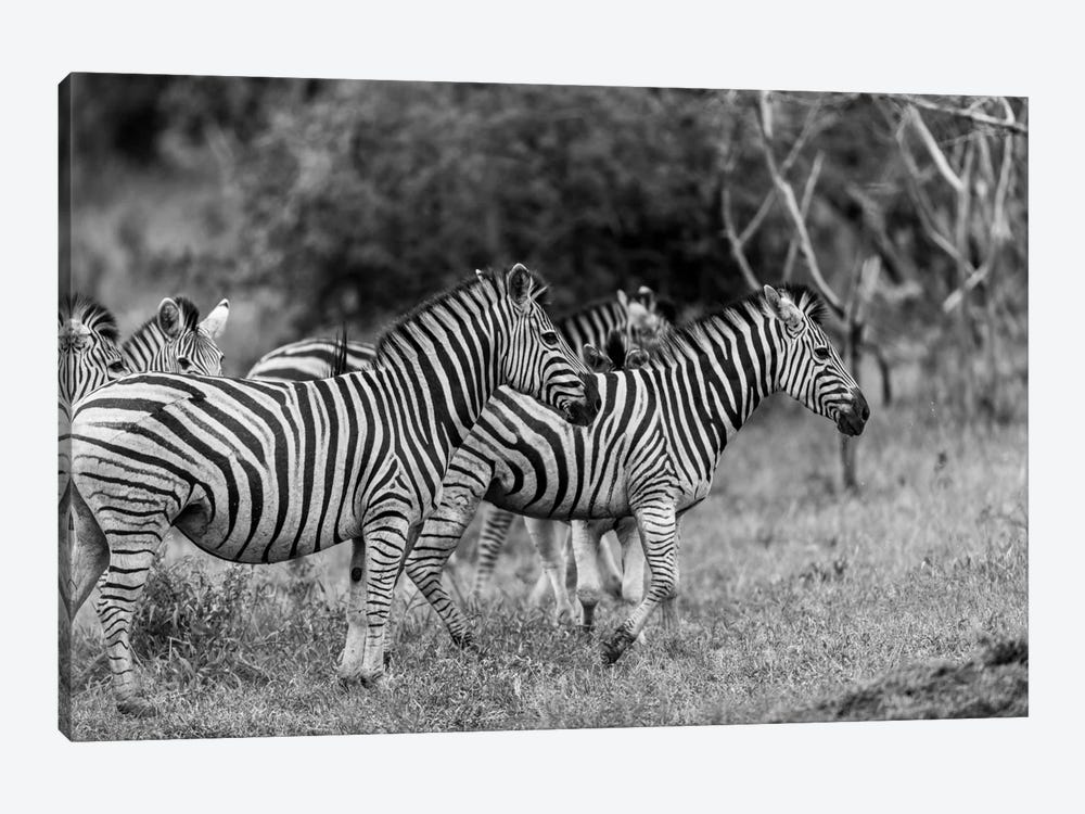 The Zebra Family by Anders Jorulf 1-piece Canvas Artwork