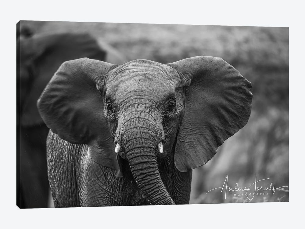 Baby Elephant by Anders Jorulf 1-piece Canvas Art