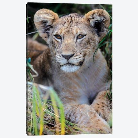 Baby Lion Canvas Print #JOR84} by Anders Jorulf Canvas Print