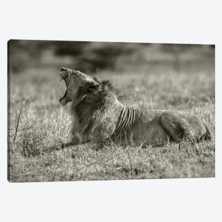 Lion Canvas Print #JOR92} by Anders Jorulf Canvas Print