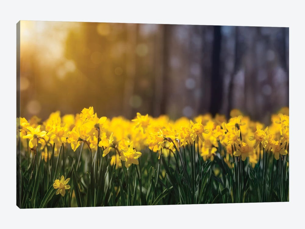 Daffodil Glow by Jonathan Ross Photography 1-piece Canvas Art Print