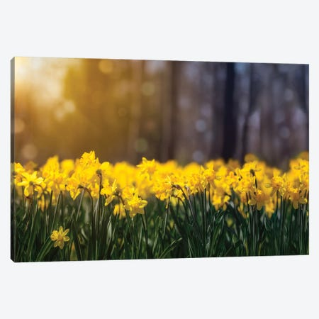 Daffodil Glow 3-Piece Canvas #JRP21} by Jonathan Ross Photography Canvas Art