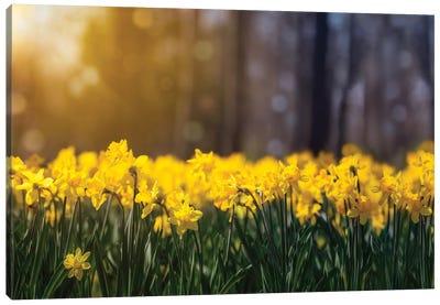 Daffodil Glow Canvas Art Print