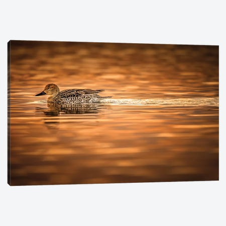 Duck On Golden Pond Canvas Print #JRP24} by Jonathan Ross Photography Art Print