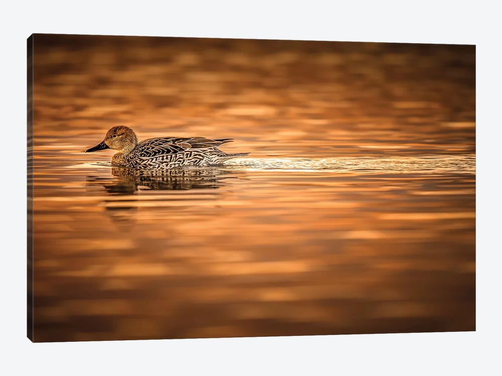 Duck On Golden Pond by Jonathan Ross Photography 1-piece Canvas Wall Art