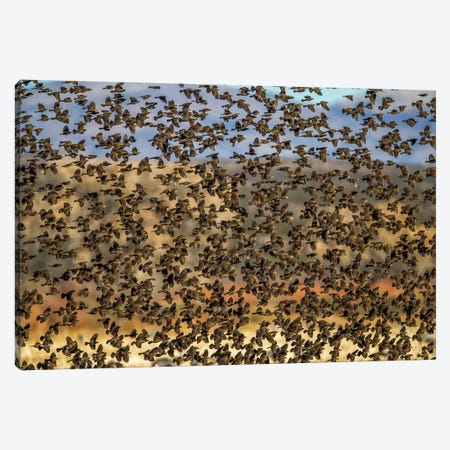 Amid The Flock Canvas Print #JRP2} by Jonathan Ross Photography Canvas Wall Art